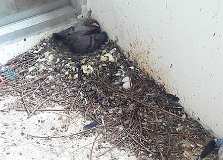 Holubí trus na balkoně - co proti holubům