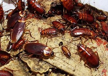 Hubení švábů v domácnosti