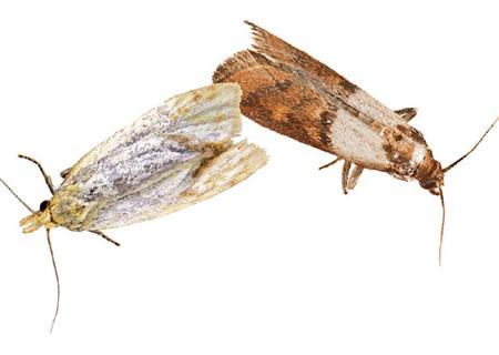 Jak se zbavit molů šatních i potravinových?