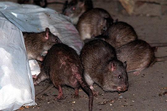 Myši, potkani i krysy mohou na člověka přenést různé nemoci