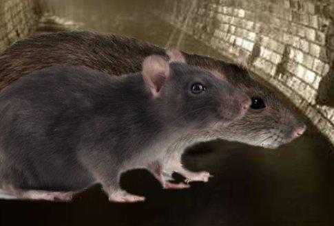 Rozdíl mezi potkanem a krysou k porovnání