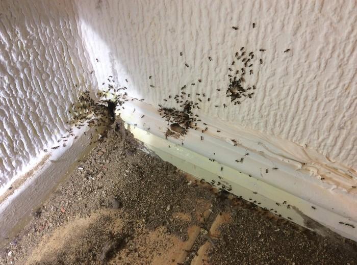 Likvidace mravencu