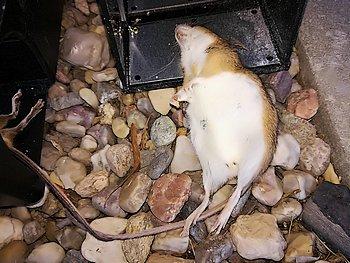 Hubení myší (Líbeznice)