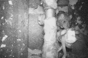 Hubení potkanů - fotopast
