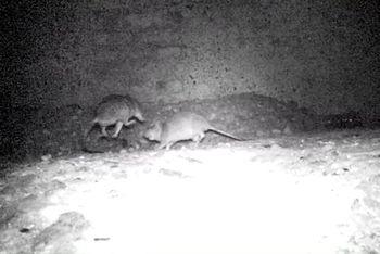Potkani v Praze - záběry z fotopasti v domě